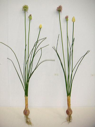 Allium Steuatum Bush