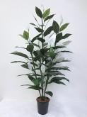 5′ Spathiphyllum Plant