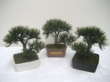 "14"" Angel Pine Bonsai Tree"