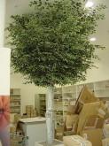 Custom Large N/S Ficus Tree