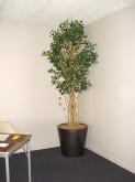 Ficus Tree – Corner Display