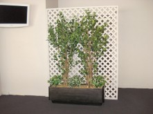 Ficus Trees – Screen Display