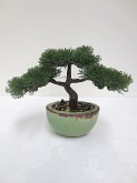 Cedar Pine Bonsai in pot