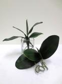 Phalaenopsis Orchid Leaf