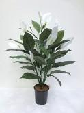 3′ Spathiphyllum Plant