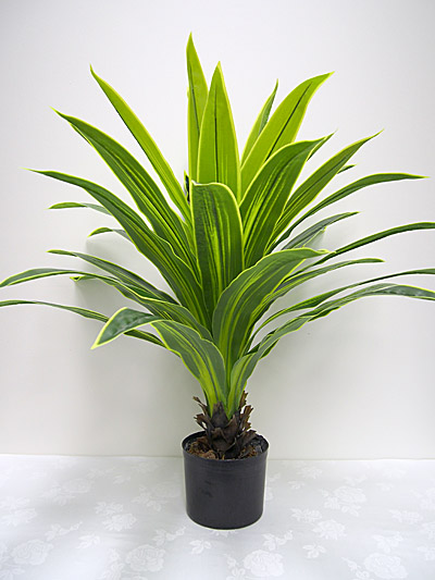100 cm Potted Dracaena Tree (Green/Yellow)