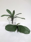 Phalaenopsis Orchid Leaf x 5 Leaves