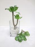 """8"""" Succulent Branch"""