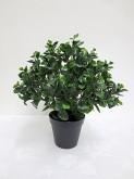 "18"" Peperomia Topiary w/pot"