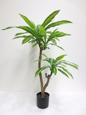 3.5′ Potted Dracaena Fragrans Plant