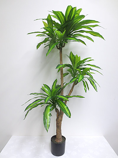 5.5′ Potted Dracaena Fragrans Plant
