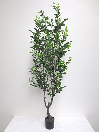 6.5′ Potted Ficus Tree