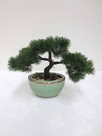 Pencil Pine Bonsai in Pot
