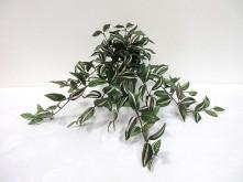 Wandering Dew Bush (Green/White)