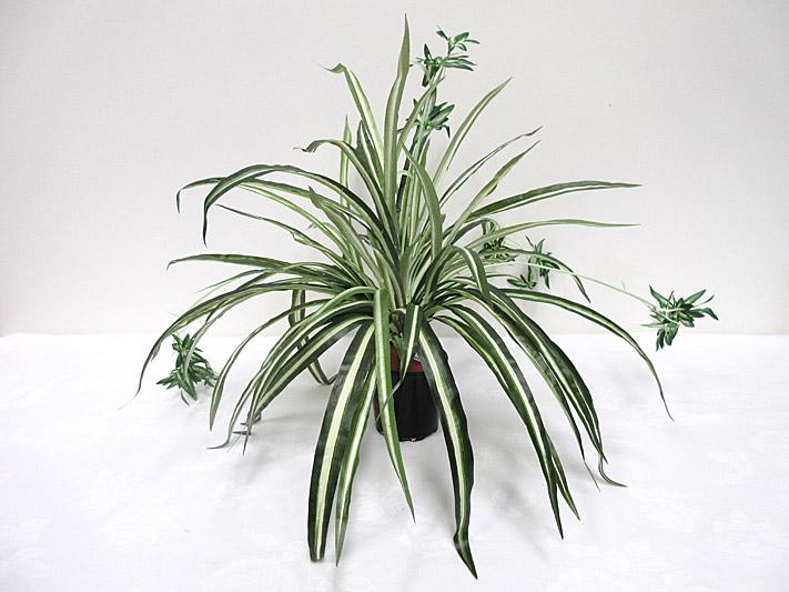 Spider Plant Bush