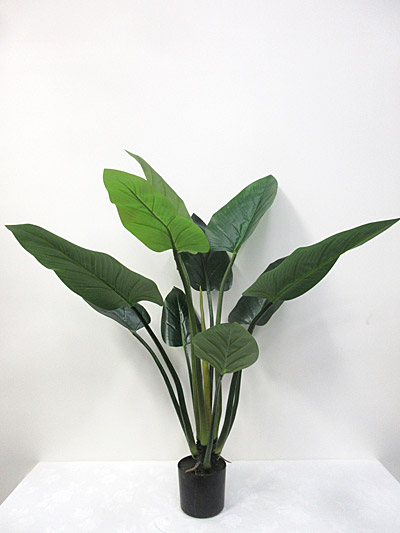 4′ Potted Giant Taro Plant