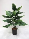 27″ Hosta Plant