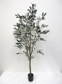 5′ Potted Olive Tree