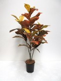 3′ Croton Tree