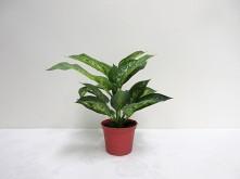 Sml. Potted Diffenbachia Plant