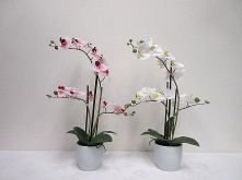 22″ Butterfly (Phalaenopsis) Orchid in Ceramic Pot