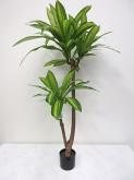 4′ Potted Dracaena Fragrans Plant