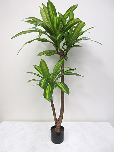 4′ Potted Dracaena Fragrans Plant