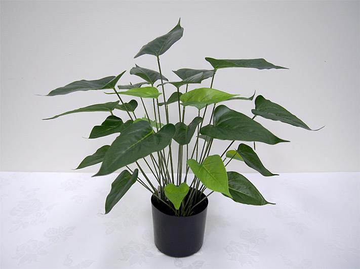 1.5′ Potted Anthurium Plant