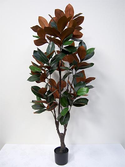 5′ Potted Magnolia Tree